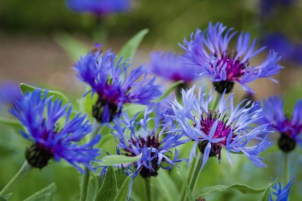 Cornflowers Wild 1 of 7 - Лечение болезни Лайма: 2 травяных соединения могут победить антибиотики